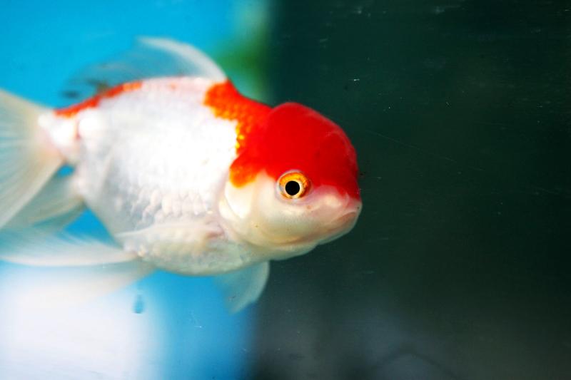 Poissons eau froide mons belgique arowana poissons for Aquarium eau chaude