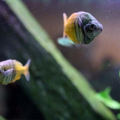 Arowan Aquarium Concept - Eau douce