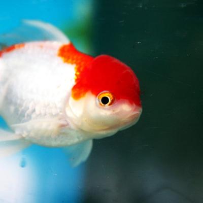 Arowana Aquarium Concept - poissons d'eau froide
