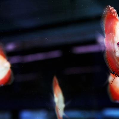 Arowana Aquarium Concept - poissons d'eau chaude